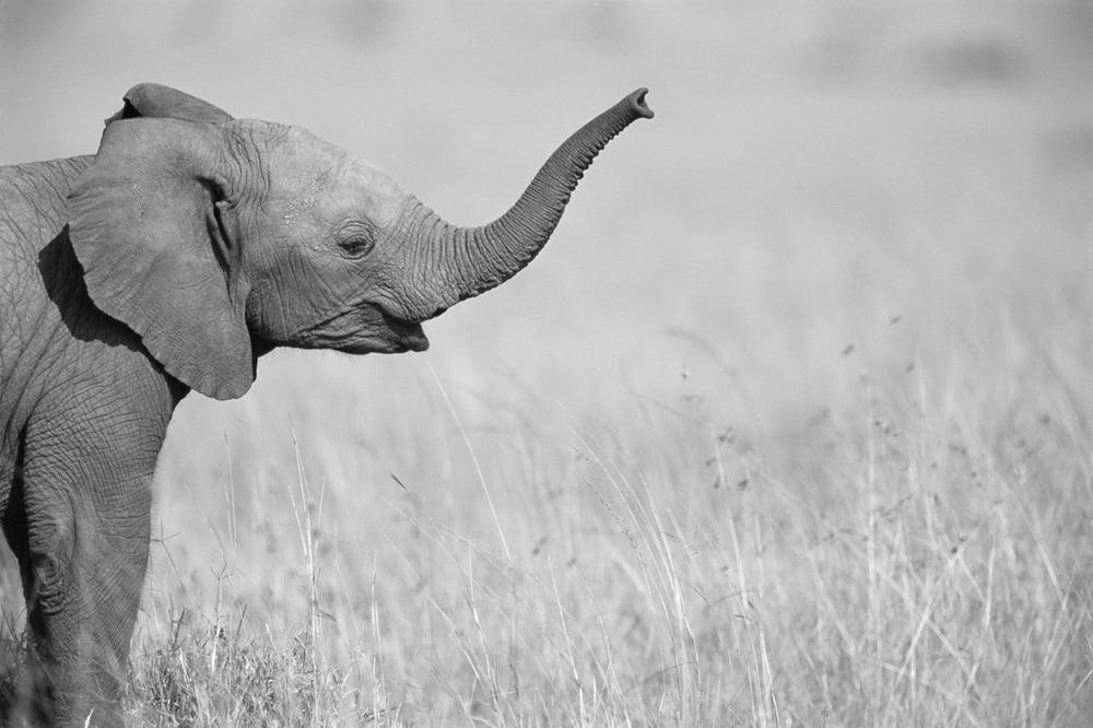 Elephants Wallpaper Black And White