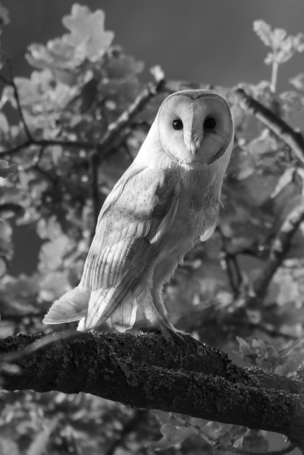 Barn owl in oak tree, Sussex Weald, England