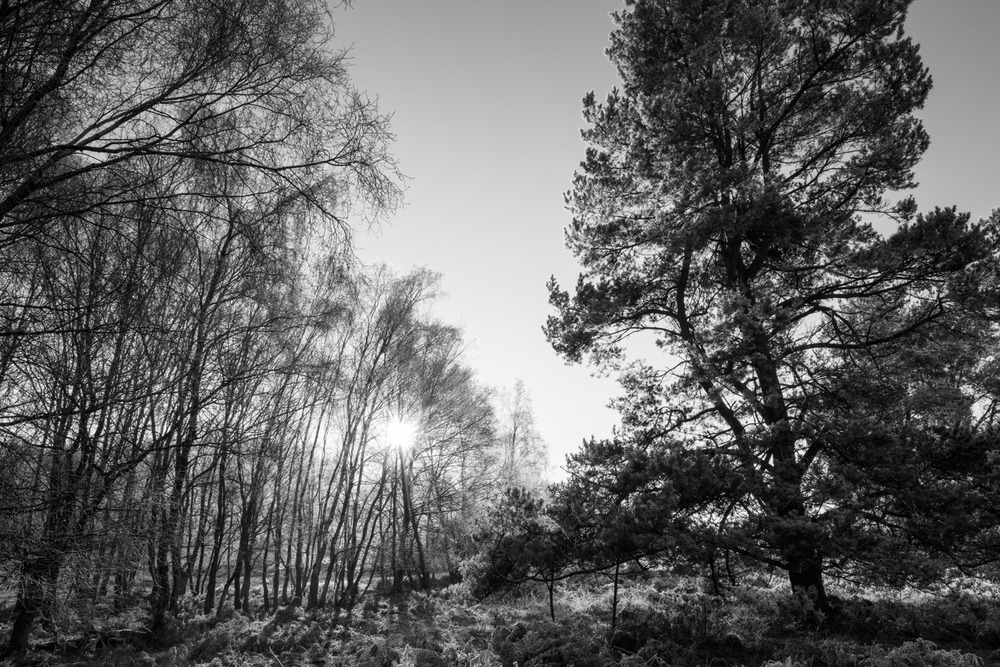 Silver birch and Scots pines with hoar frost, Ashdown Forest, Sussex Weald, England
