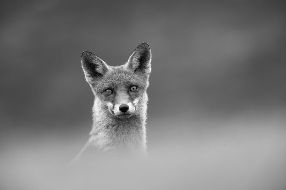Red fox portrait, Ashdown Forest, Sussex Weald, England