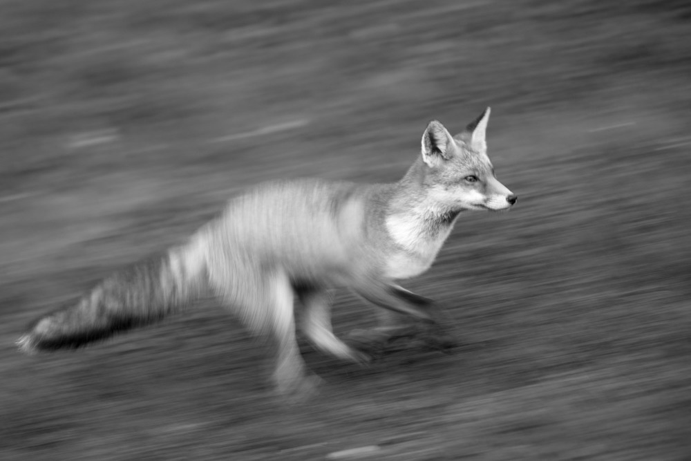 Red fox running, Ashdown Forest, Sussex Weald, England