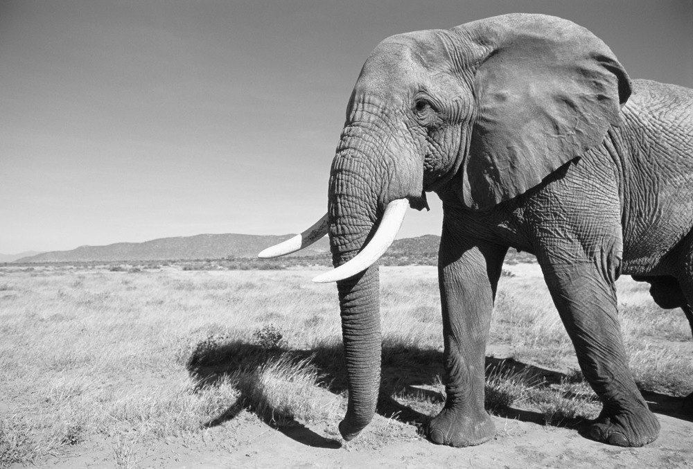 Black And White Photography Elephants
