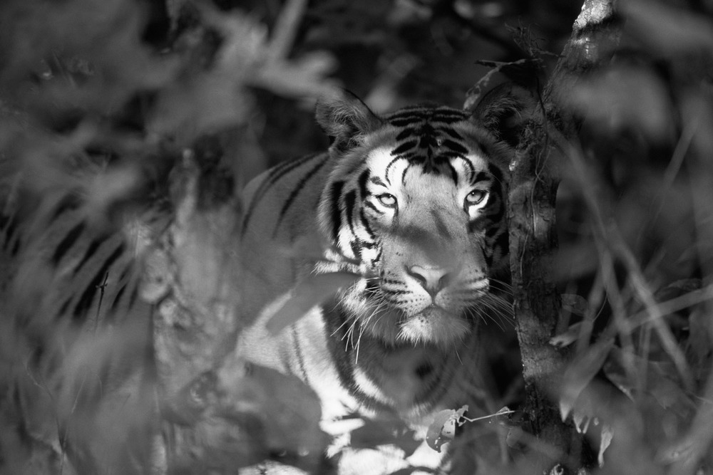 Tiger peering through foliage, Kanha National Park, Madhya Pradesh, India