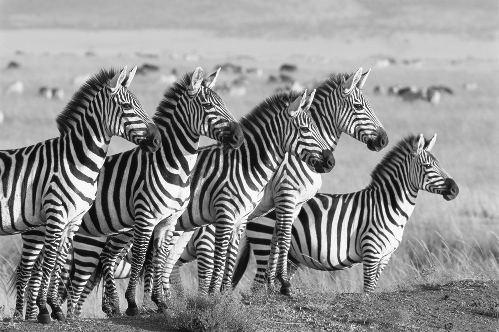 Common zebras lining up, Masai Mara National Reserve, Kenya
