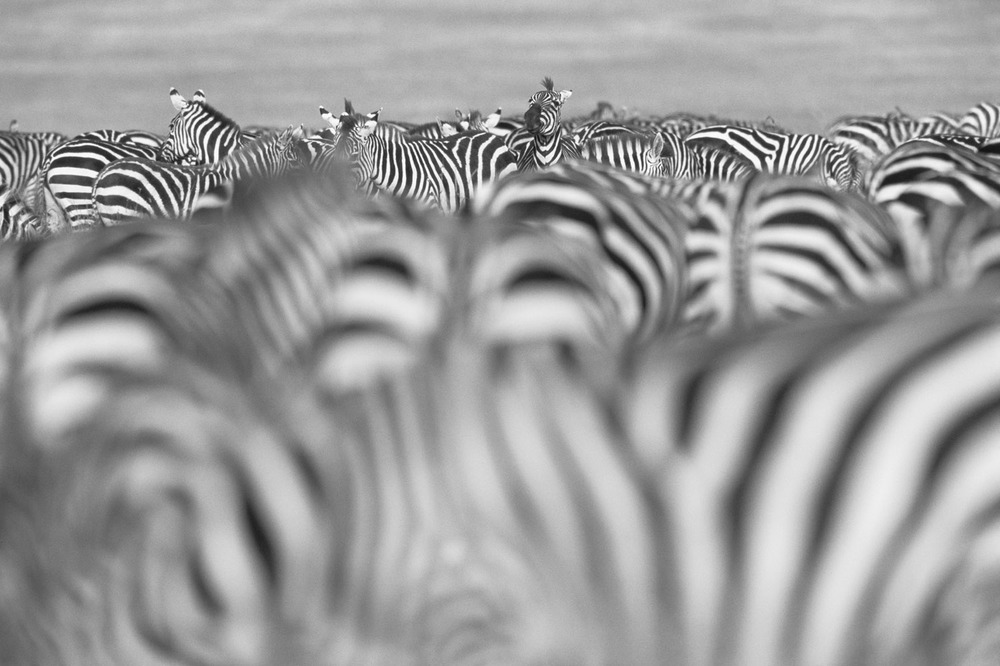 Common zebra herd during migration, Masai Mara National Reserve, Kenya
