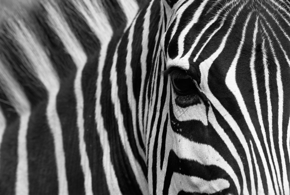 Common zebra portrait, Masai Mara National Reserve, Kenya
