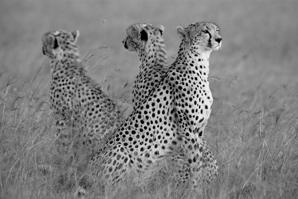 Cheetah mother with young, Masai Mara National Reserve, Kenya