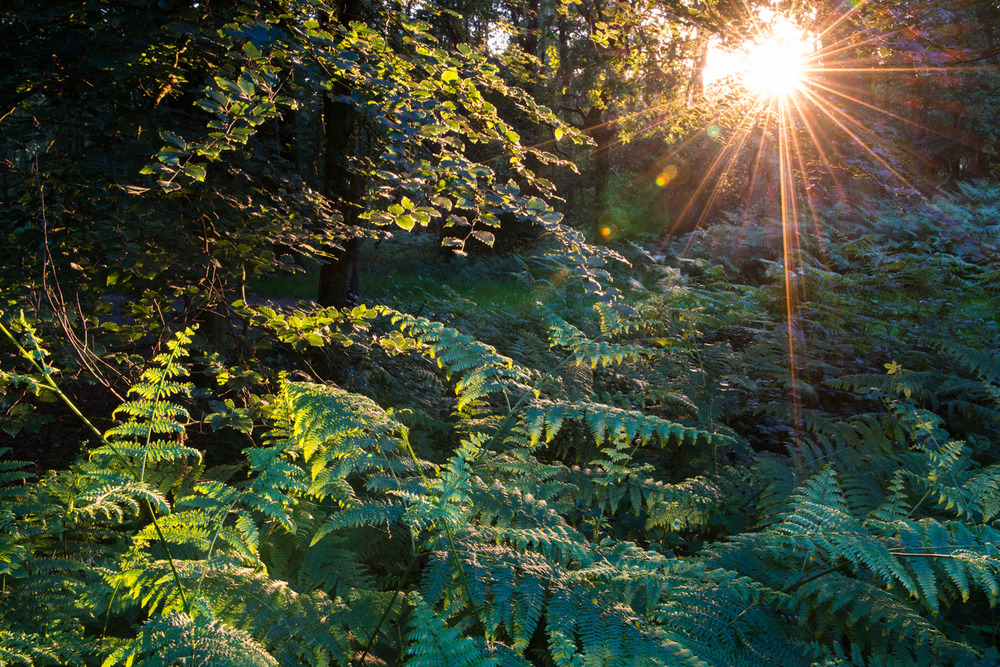 Evening sun breaking through beech woods on to bracken, Ashdown Forest, Sussex Weald, England