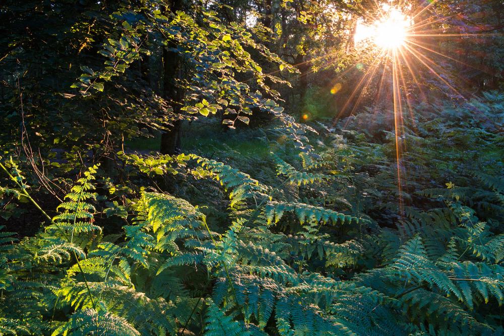Evening sun breaking through beech woods on to bracken, Ashdown Forest, Sussex Weald, England