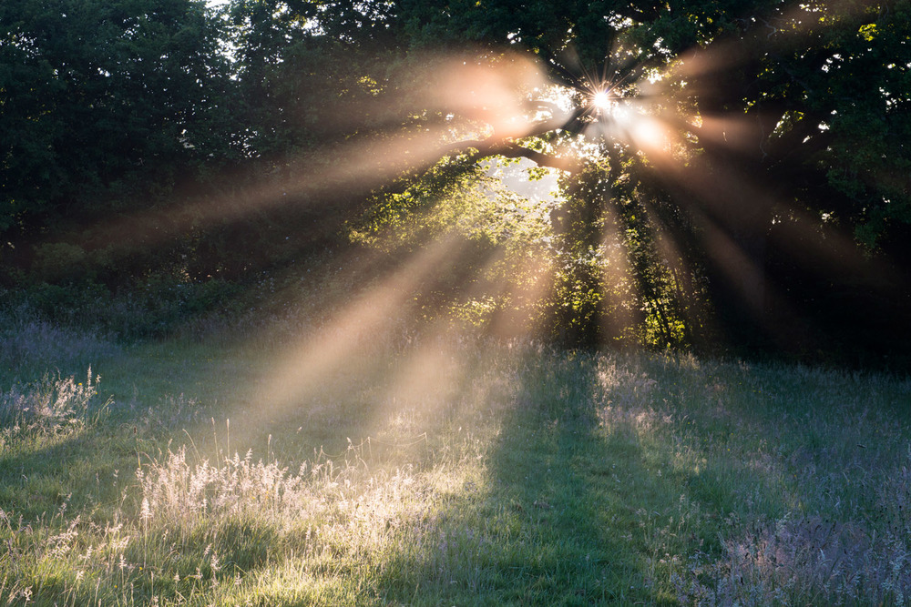 Early morning sun rays filtering through oak tree in paddock, Ashdown Forest, Sussex Weald, England