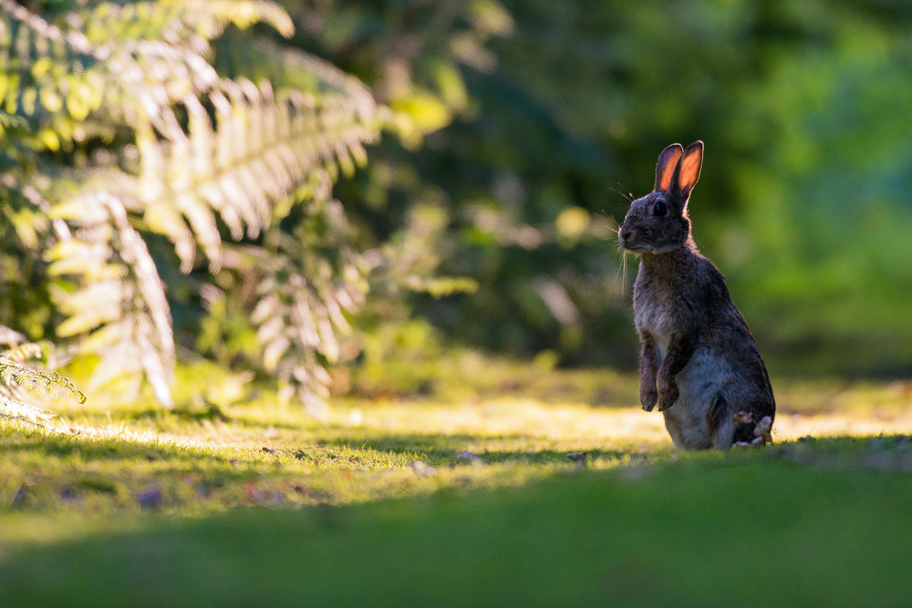 European rabbit on alert at last light, Ashdown Forest, Sussex Weald, England