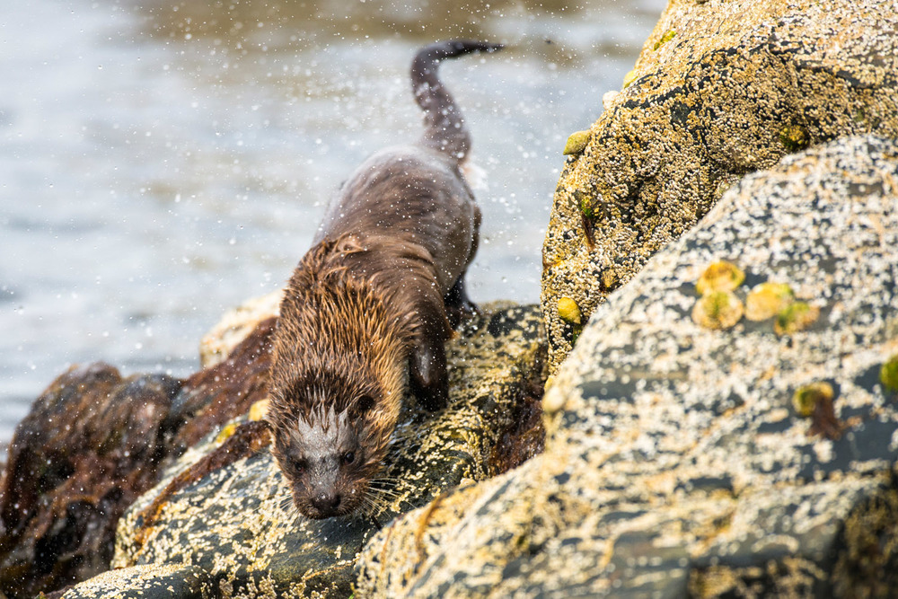 European otter shaking itself dry on shoreline rocks, Yell, Shetland Islands, Scotland