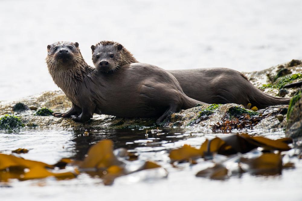 European otter mother with cub on shoreline rocks, Yell, Shetland Islands, Scotland