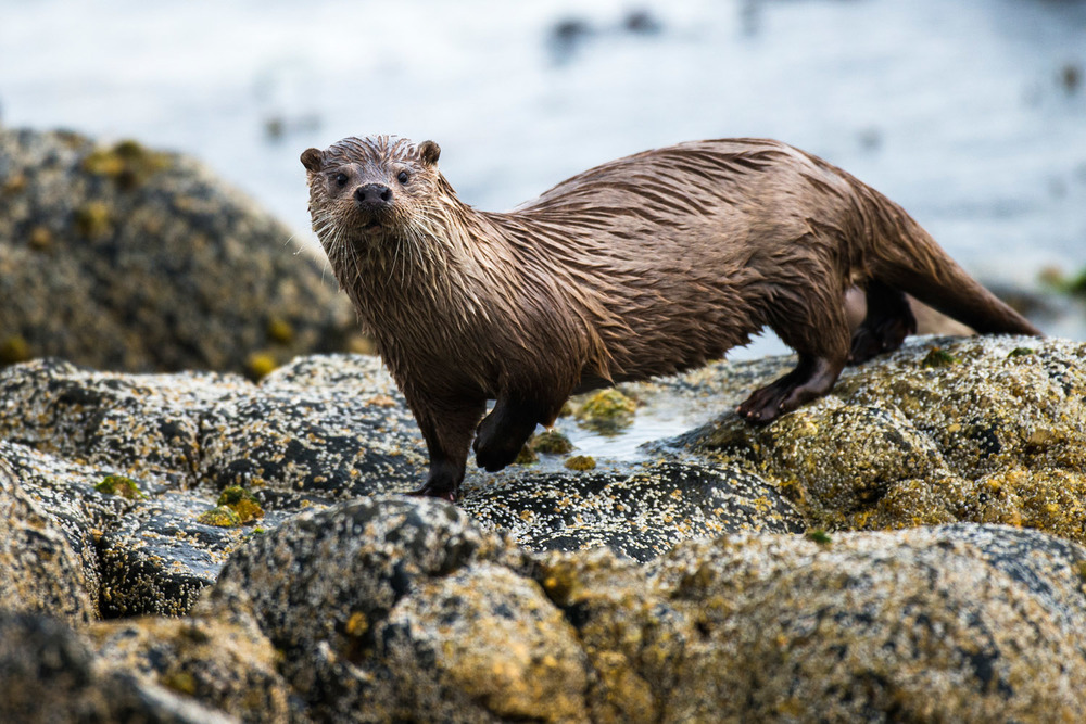 European otter on shoreline rocks, Yell, Shetland Islands, Scotland