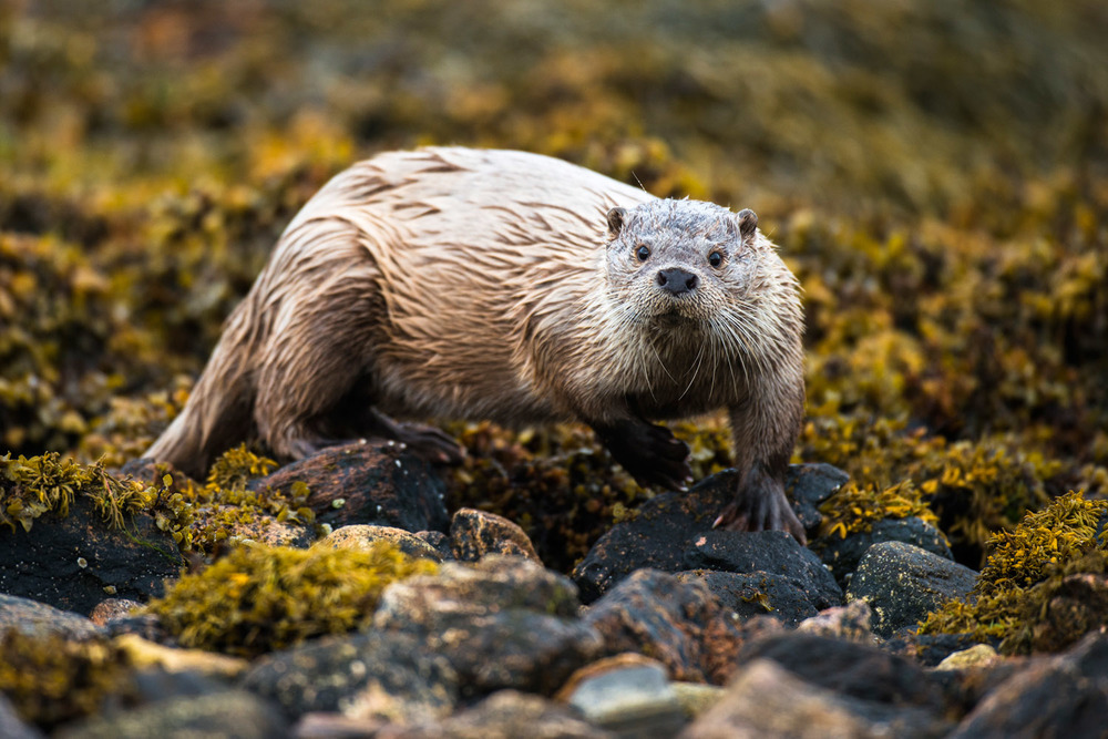 European otter on seaweed covered shoreline rocks, Yell, Shetland Islands, Scotland