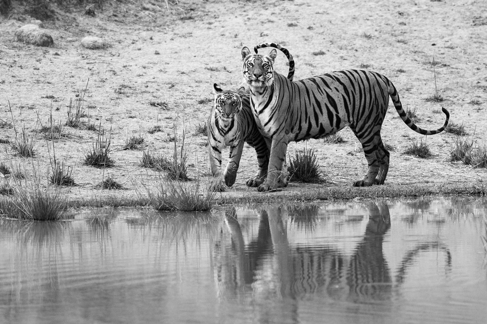 Bengal tiger mother with cub at edge of pool, Bandhavgarh National Park, Madhya Pradesh, India