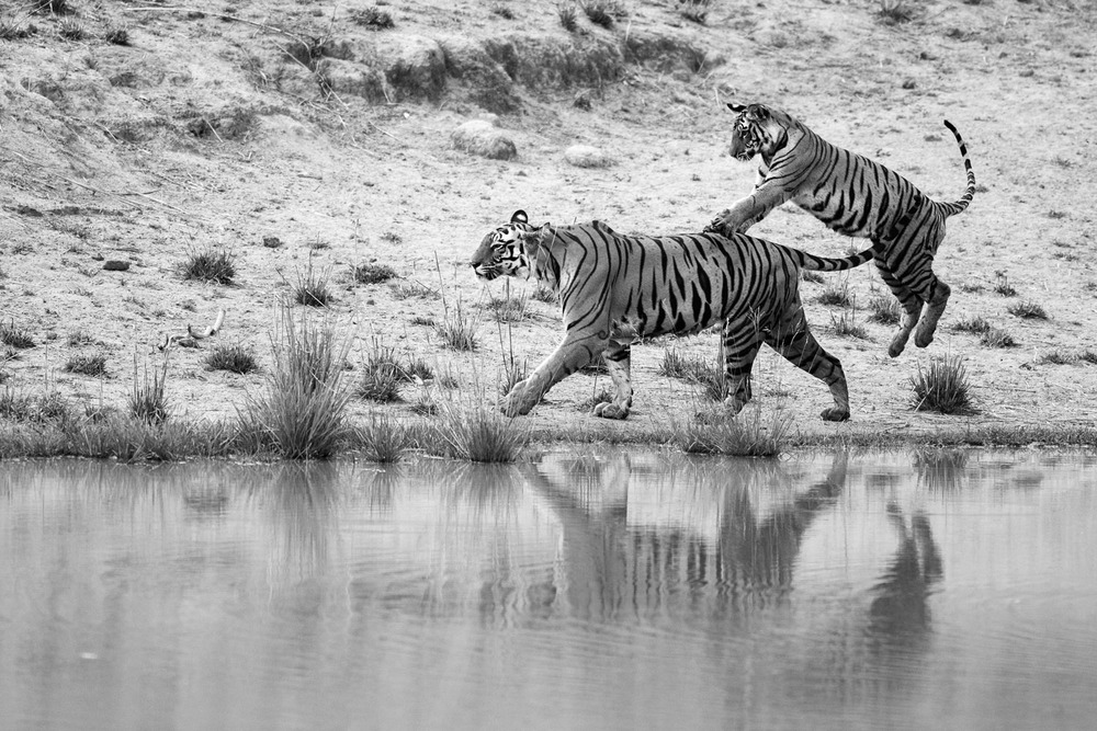 Bengal tiger cub playing with mother at edge of pool, Bandhavgarh National Park, Madhya Pradesh, India