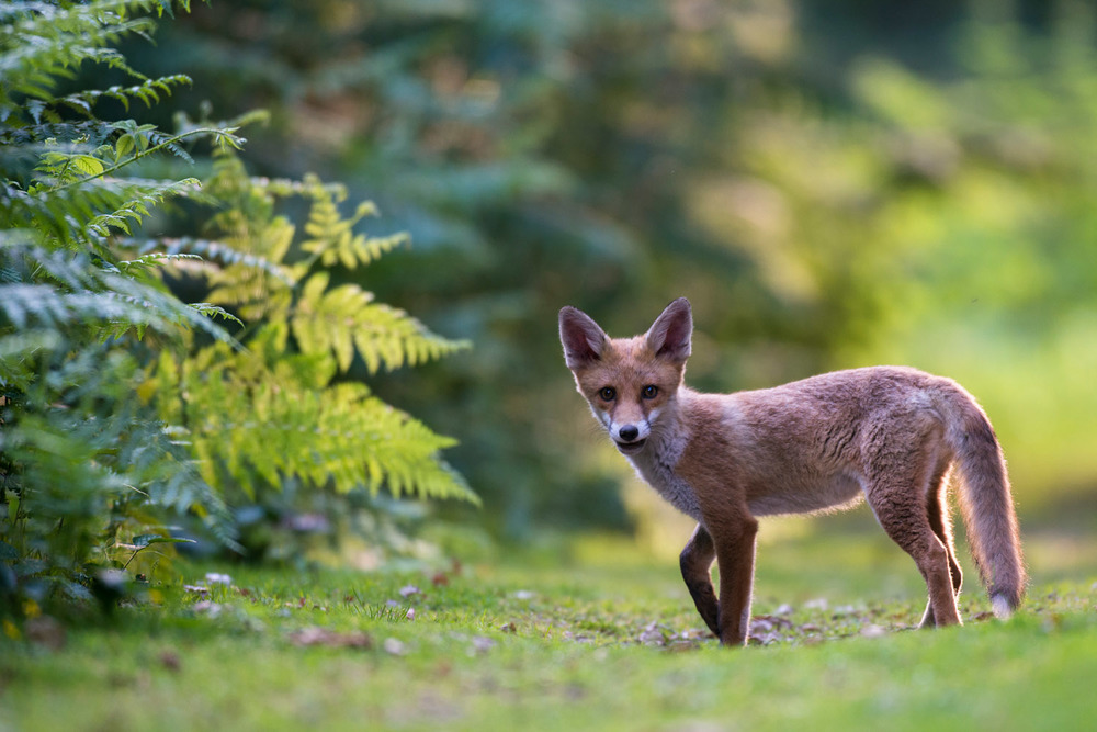 Red fox cub on forest track in late evening light, Ashdown Forest, Sussex Weald, England