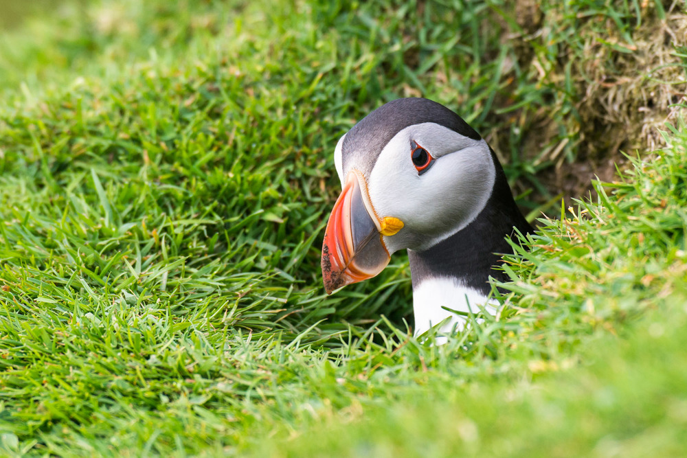 Atlantic puffin in nest burrow entrance, Hermaness National Nature Reserve, Unst, Shetland Islands, Scotland