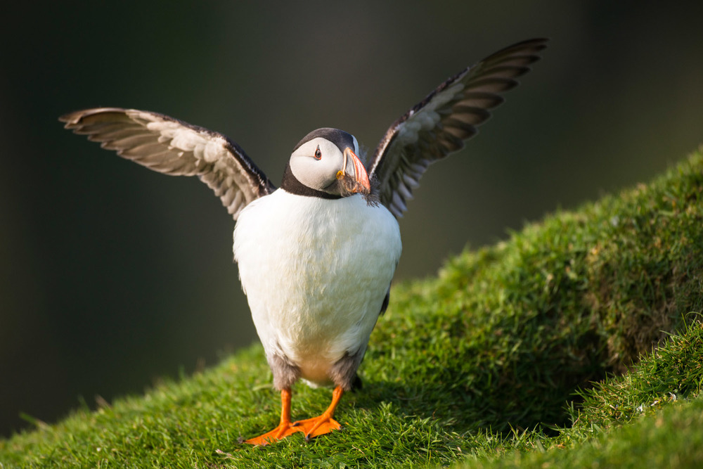 Atlantic puffin fluttering wings by nest burrow entrance, Hermaness National Nature Reserve, Unst, Shetland Islands, Scotland