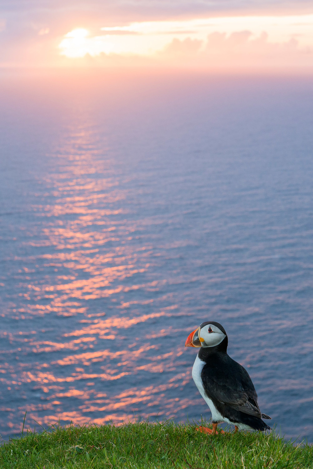 Atlantic puffin at clifftop edge at sunset, Hermaness National Nature Reserve, Unst, Shetland Islands, Scotland