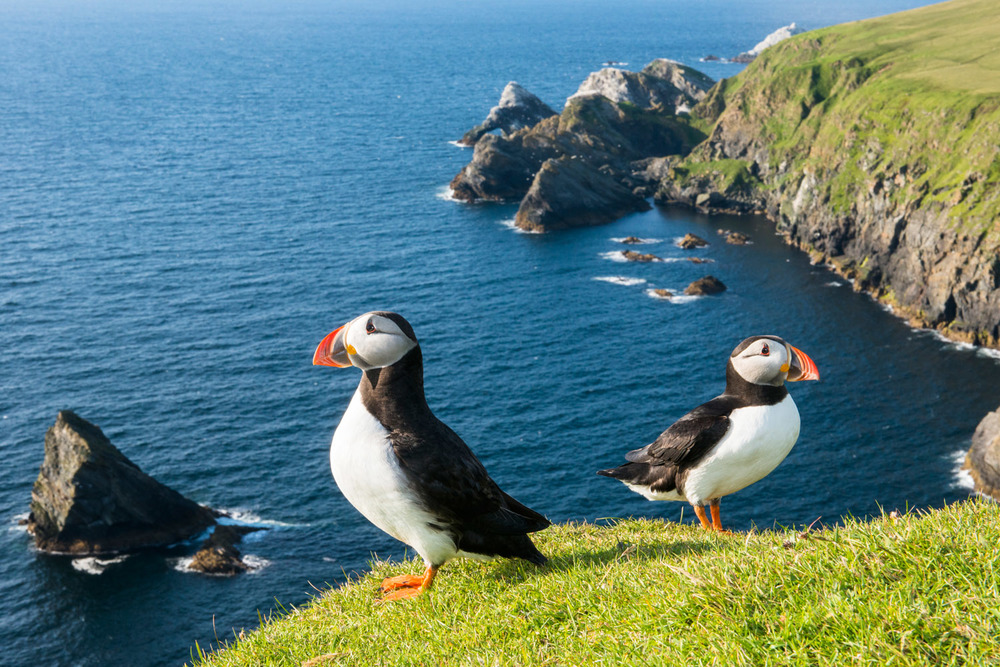 Atlantic puffins at clifftop edge, Hermaness National Nature Reserve, Unst, Shetland Islands, Scotland