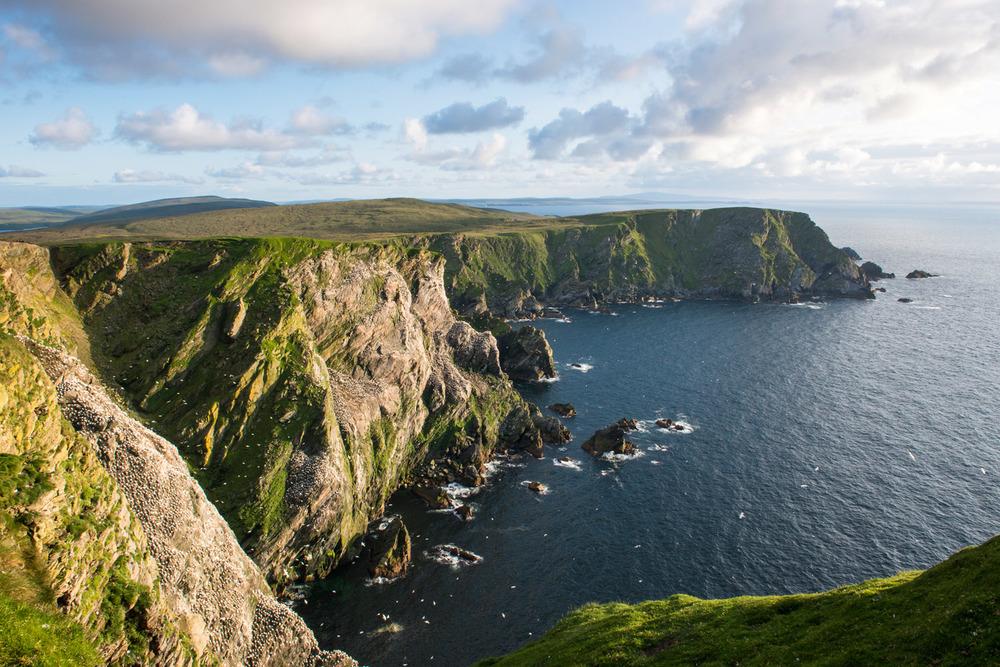 Northern gannet breeding colony on cliffs, Hermaness National Nature Reserve, Unst, Shetland Islands, Scotland