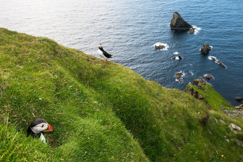 Atlantic puffin emerging from clifftop nest burrow, Hermaness National Nature Reserve, Unst, Shetland Islands, Scotland