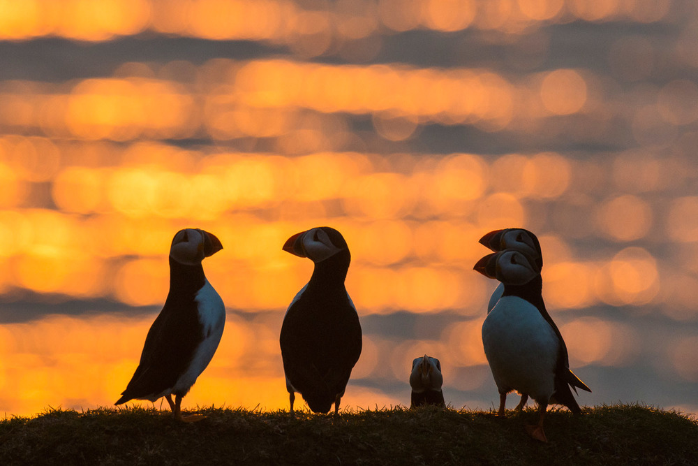 Atlantic puffins at clifftop edge at sunset, Hermaness National Nature Reserve, Unst, Shetland Islands, Scotland