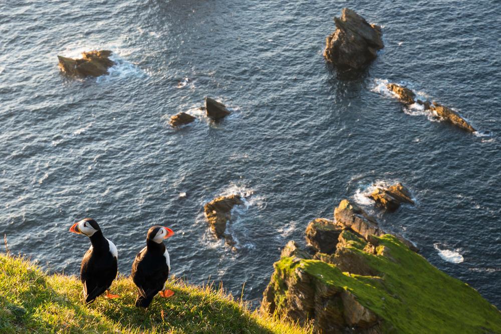 Atlantic puffins at clifftop edge, Hermaness National Nature Reserve, Unst, Shetland Islands, Scotland