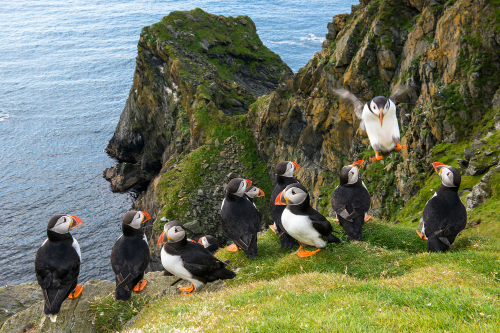 Atlantic puffins congregating at clifftop edge, Hermaness National Nature Reserve, Unst, Shetland Islands, Scotland