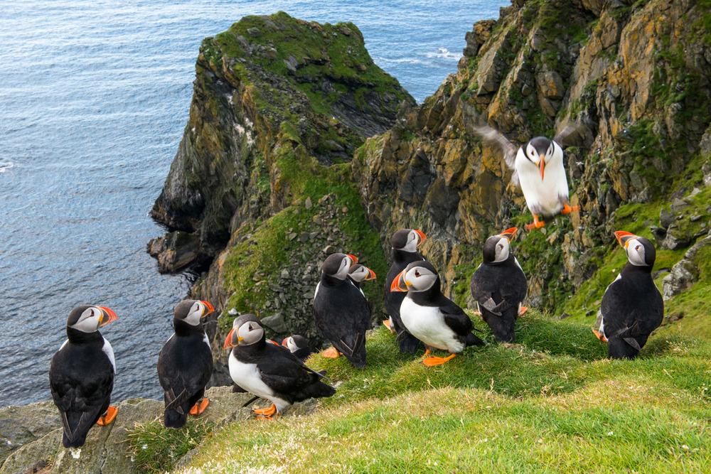 Atlantic puffins congregating at clifftop edge, Hermaness National Nature Reserve, Unst, Shetland Islands, Scotland