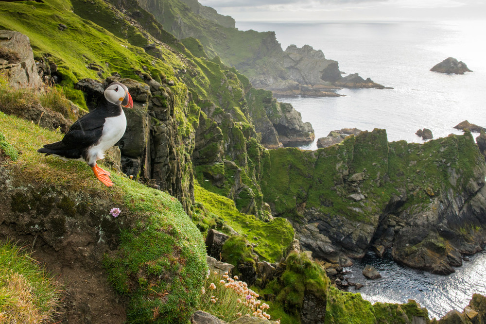 Atlantic puffin at clifftop edge, Hermaness National Nature Reserve, Unst, Shetland Islands, Scotland