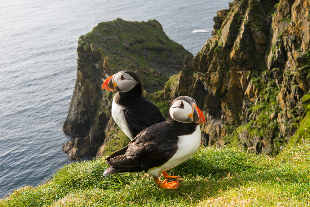Atlantic puffins at clifftop edge in the rain, Hermaness National Nature Reserve, Unst, Shetland Islands, Scotland