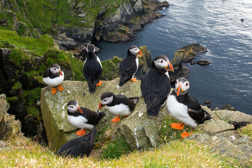 Atlantic puffins congregating on clifftop rock, Hermaness National Nature Reserve, Unst, Shetland Islands, Scotland