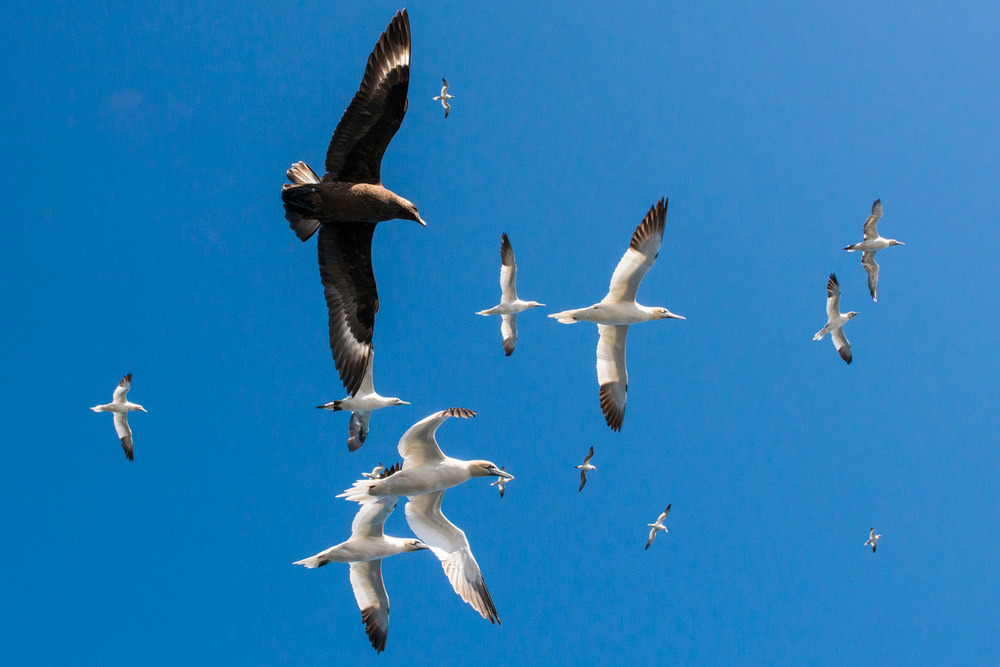 Great skua amongst northern gannets in flight, Noss National Nature Reserve, Noss, Shetland Islands, Scotland