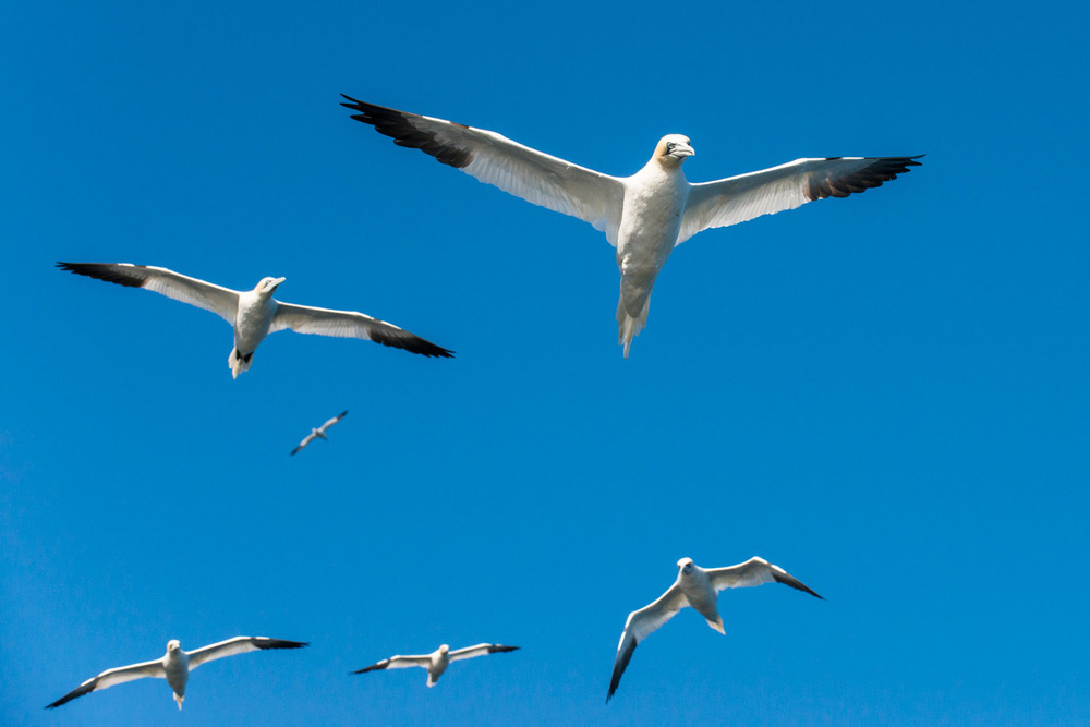 Northern gannets in flight, Noss National Nature Reserve, Noss, Shetland Islands, Scotland