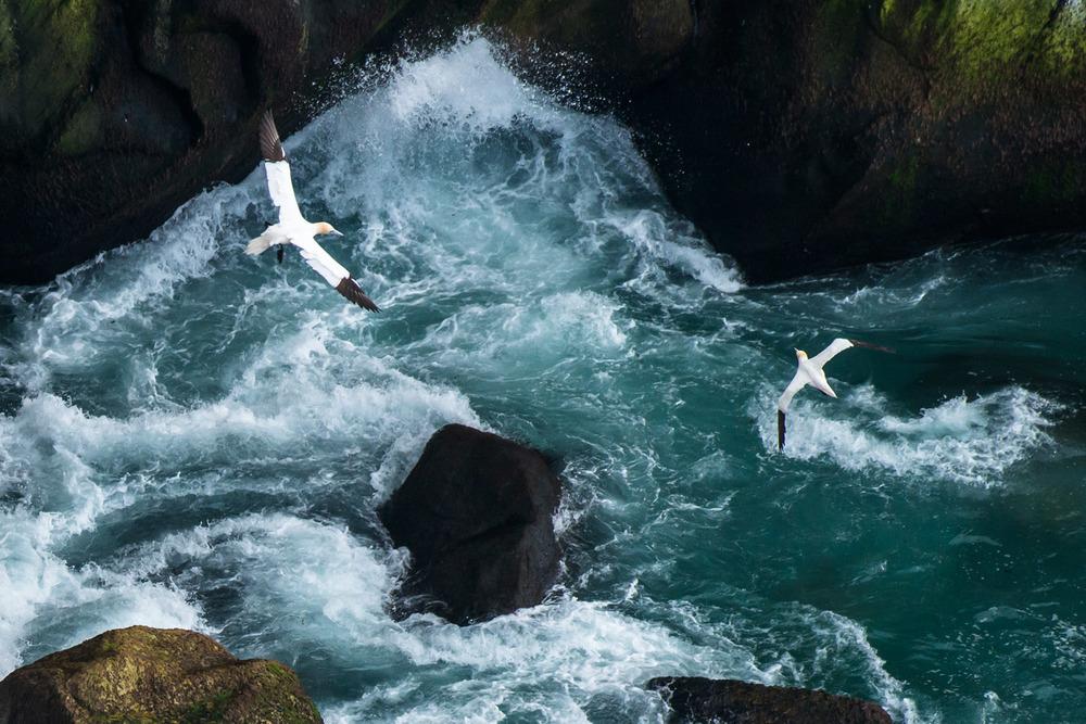 Northern gannets in flight over breaking waves, Hermaness National Nature Reserve, Unst, Shetland Islands, Scotland