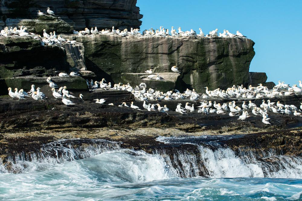 Northern gannets congregating on cliff ledges, Noss National Nature Reserve, Noss, Shetland Islands, Scotland