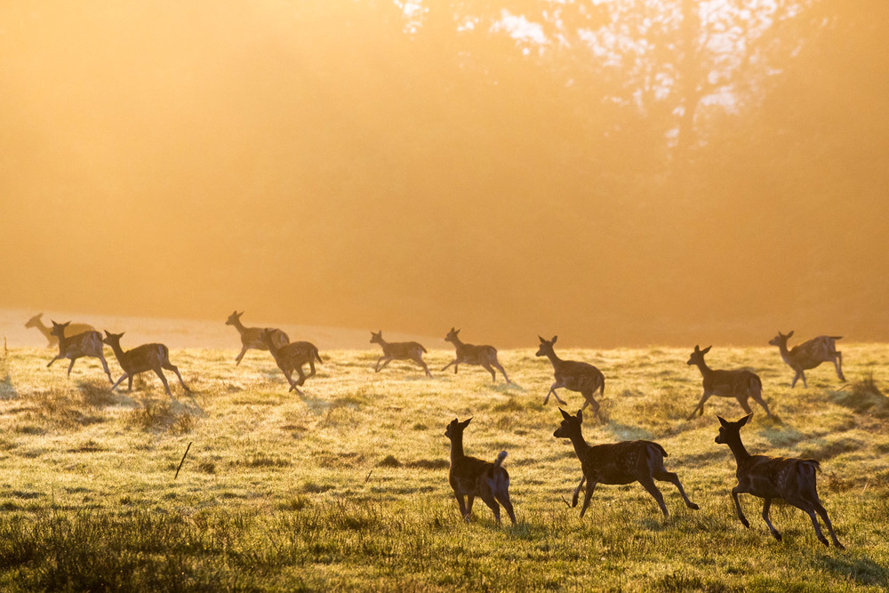 Fallow deer on the move across pasture at dawn, Ashdown Forest, Sussex Weald, England