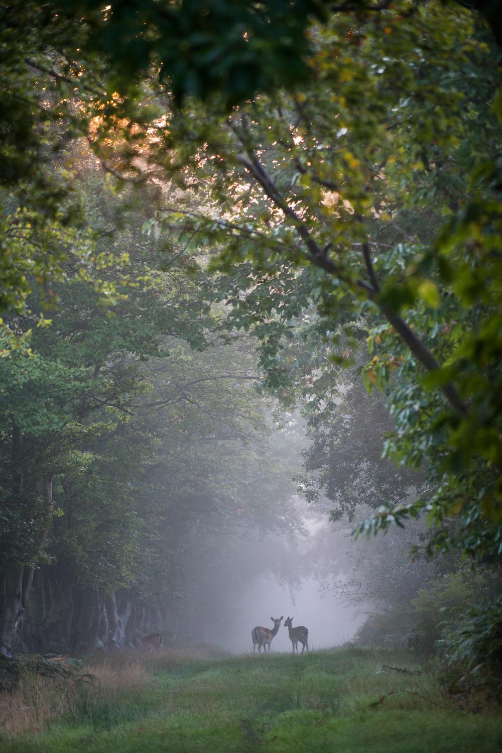 Fallow deer on track through beech woods at dawn, Ashdown Forest, Sussex Weald, England