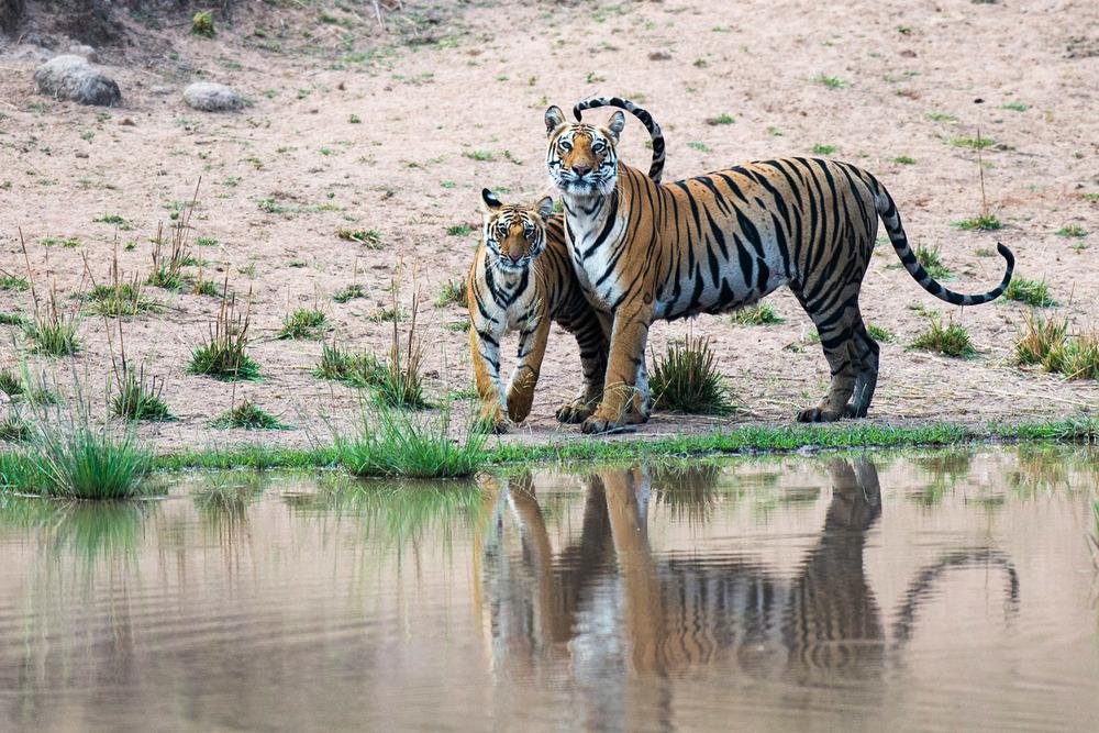 Bengal tiger mother with cub at edge of pool, Bandhavgarh National Park, Madhya Pradesh, India