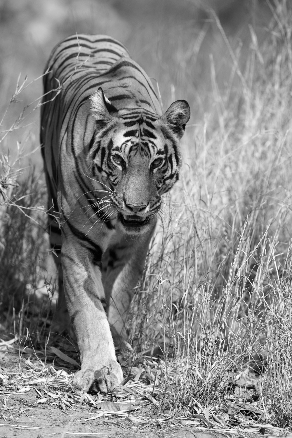 Bengal tigress approaching, Bandhavgarh National Park, Madhya Pradesh, India