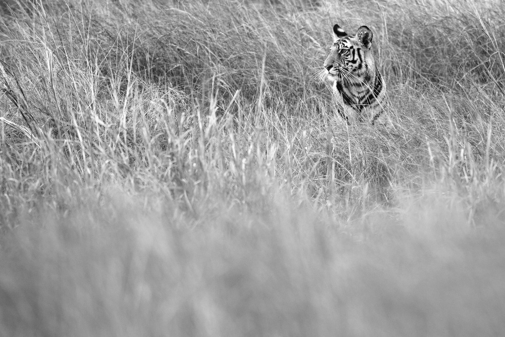 Bengal tiger cub in long grasses, Bandhavgarh National Park, Madhya Pradesh, India