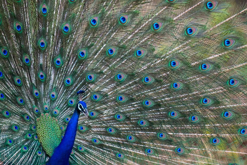 Indian peacock in courtship display, Bandhavgarh National Park, Madhya Pradesh, India