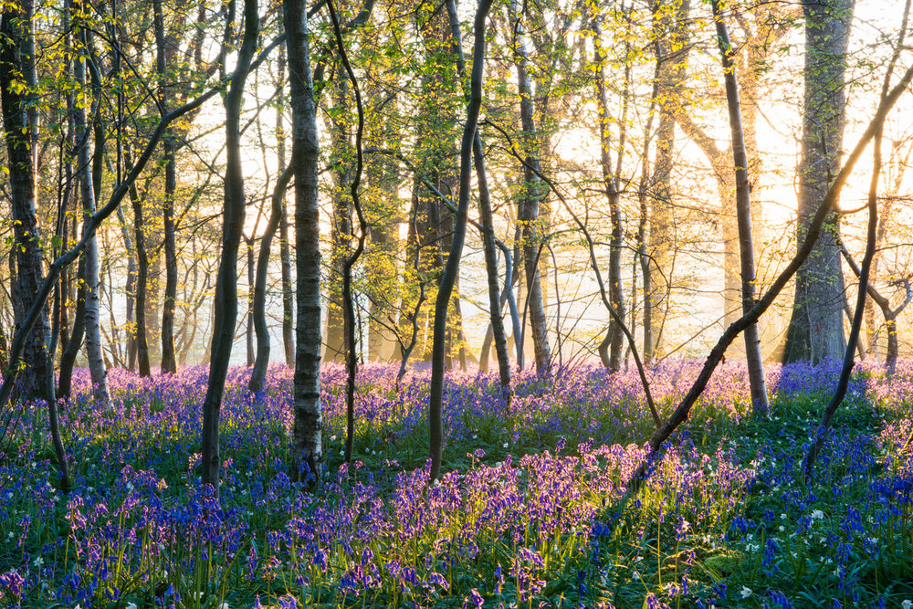 Bluebells in mixed woodland at sunrise, Sussex, England
