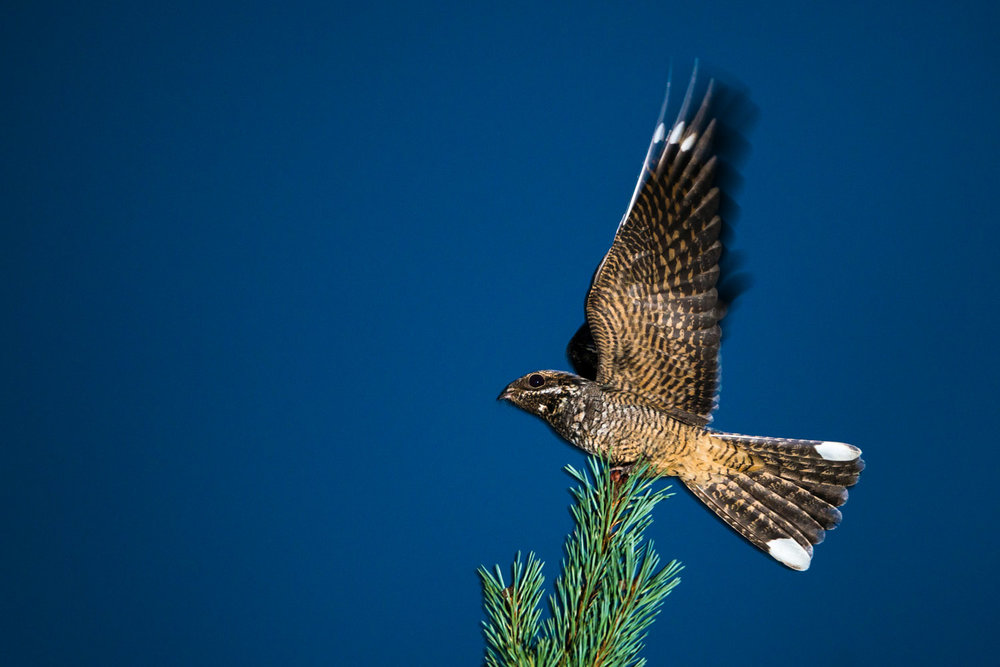 European nightjar on Scots pine at dusk, Ashdown Forest, Sussex, England