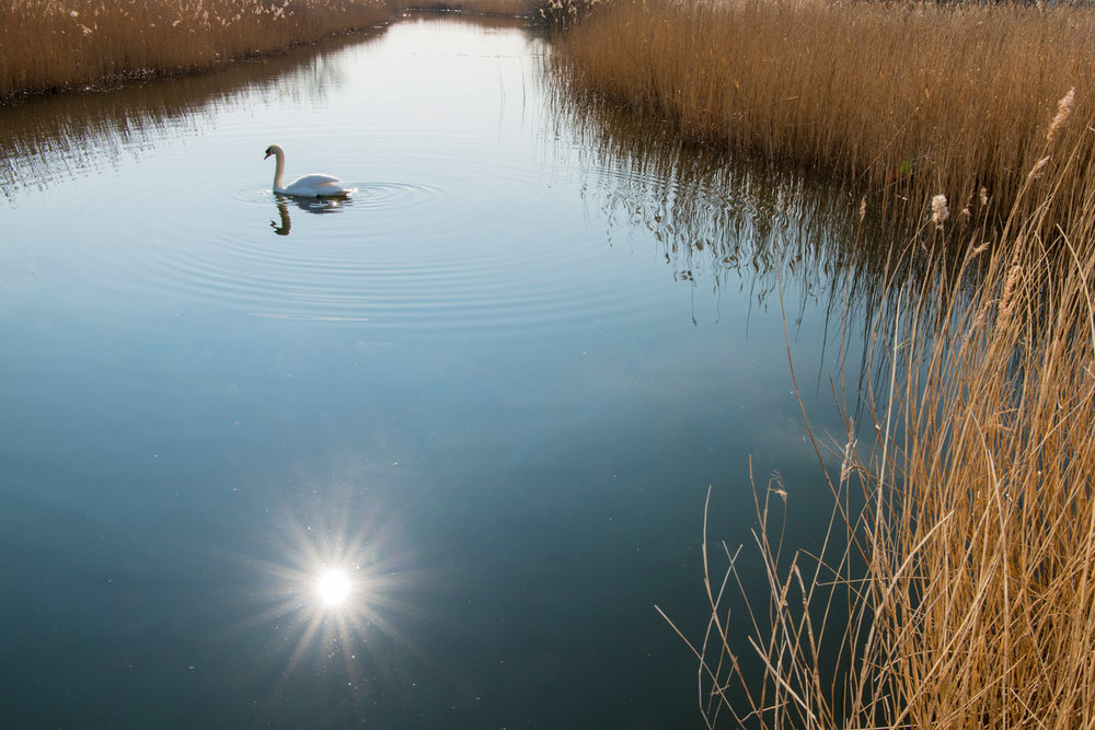 Mute swan by reed beds, London, England