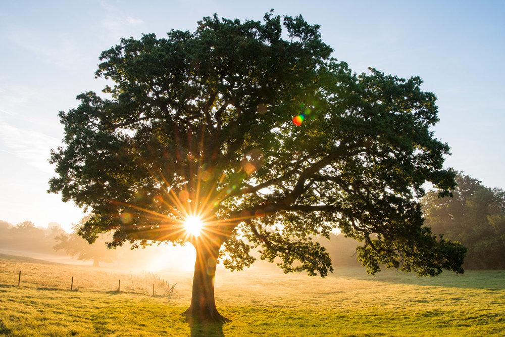 Oak tree at sunrise, Ashdown Forest, Sussex, England