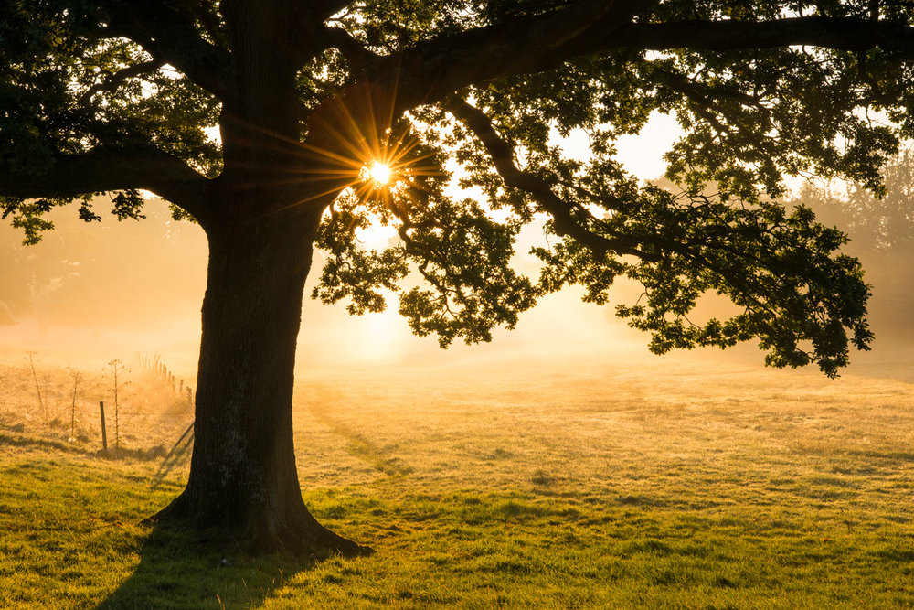 Oak tree at sunrise, Ashdown Forest, Sussex, England